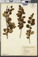 Betula pumila var. glandulifera image