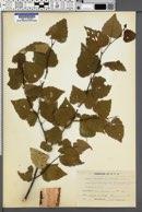Image of Betula japonica