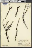 Image of Betula michauxii