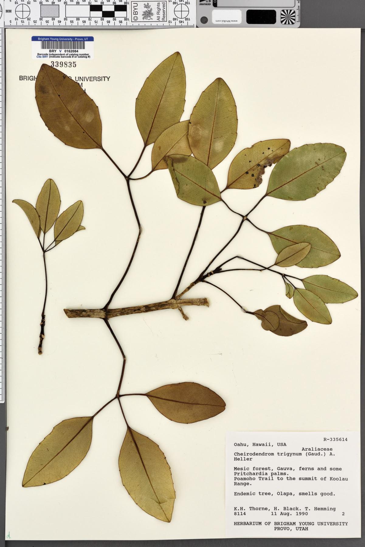 Cheirodendron image