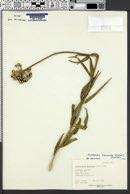 Asclepias asperula image