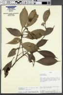Image of Aspidosperma rigidum
