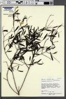 Image of Cameraria latifolia