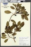 Image of Ochrosia haleakalae