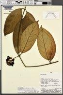Image of Prestonia trifida