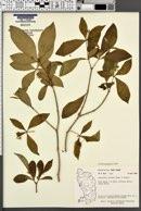 Image of Rauvolfia viridis
