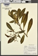 Image of Rauvolfia biauriculata