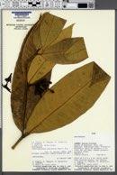 Image of Tabernaemontana macrocalyx