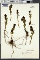 Image of Vinca herbacea