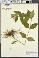Image of Vincetoxicum rossicum