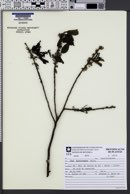 Image of Ilex brevicuspis