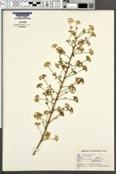 Image of Aralia chinensis