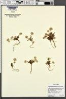 Calyptridium umbellatum image