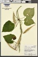 Image of Cynanchum wilfordii
