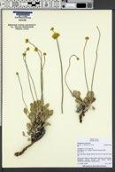 Image of Eriogonum calcareum