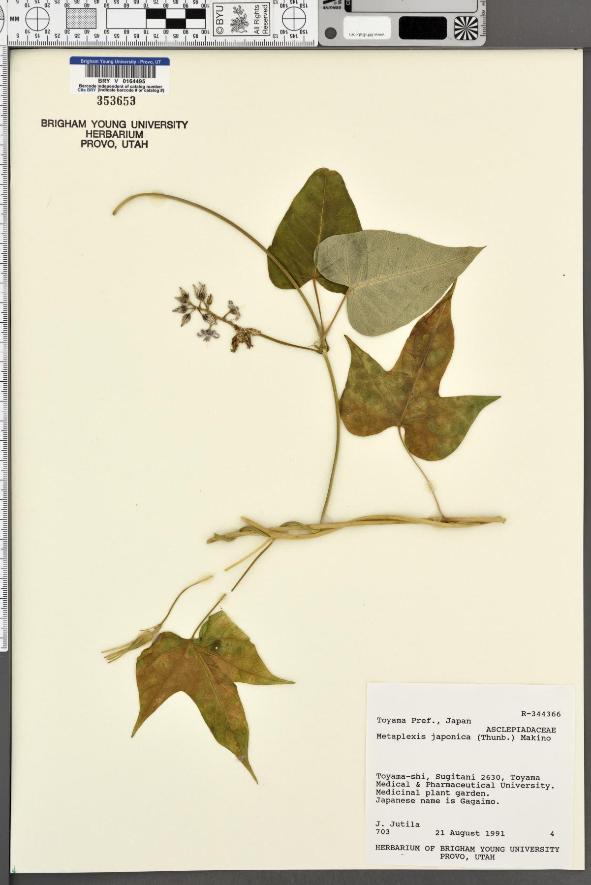 Metaplexis japonica image