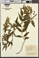 Image of Periploca sepium