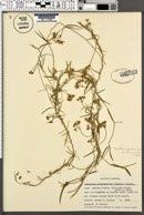 Sarcostemma cynanchoides image