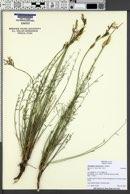 Image of Astragalus conjunctus