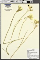 Calochortus eurycarpus image