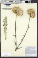 Cirsium occidentale var. californicum image