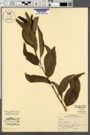 Annona squamosa image