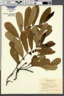 Image of Asimina pygmea
