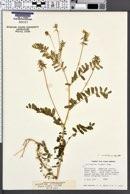 Astragalus umbraticus image