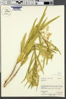 Asclepias labriformis image