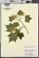 Image of Acer tschonoskii