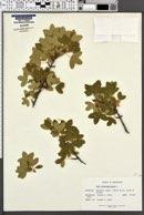 Acer monspessulanum image