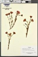 Image of Mesembryanthemum roseum