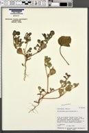 Trianthema portulacastrum image