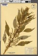 Acnida cannabina image