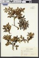 Pistacia lentiscus image