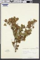 Rhus aromatica var. simplicifolia image