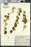 Image of Bernardia crassifolia