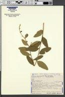 Image of Bernardia similis