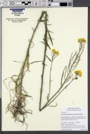 Image of Erysimum suffrutescens