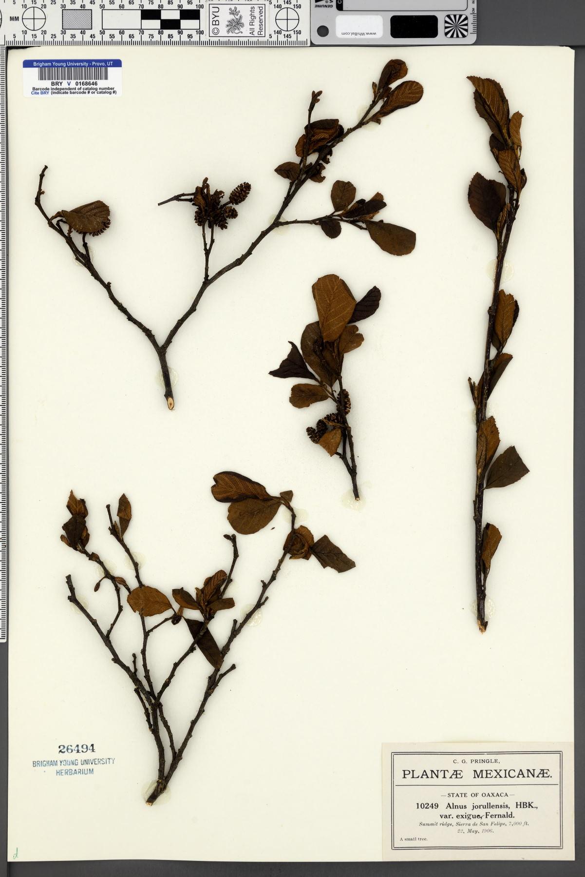 Alnus jorullensis var. exigua image