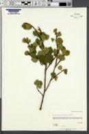 Betula glandulifera image