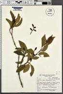 Alnus oblongifolia image
