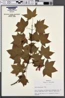 Image of Acer oliverianum