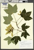 Acer pseudoplatanus image