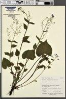 Brunnera macrophylla image