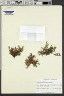 Plagiobothrys pringlei image
