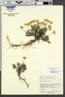 Nestotus stenophyllus image