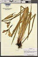 Iris longipetala image