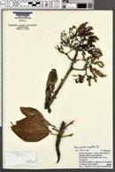 Tournefortia argentea image