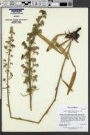Antiphytum floribundum image